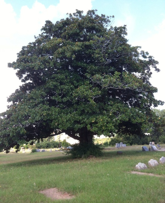 This enormous magnolia tree is the only tree in Lithonia City Cemetery.