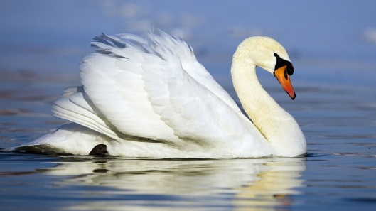 I have always loved swans. They're such graceful, majestic creatures.