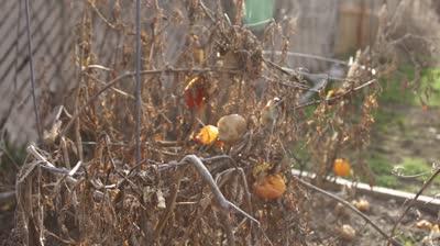deadtomatoes