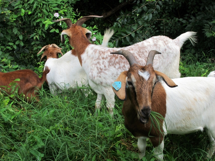 Maryland-based company Eco-Goats brought over some hungry goats to take care of the tenacious ivy choking trees at Washington's Congressional Cemetery. Photo by Linda Davidson/the Washington Post.