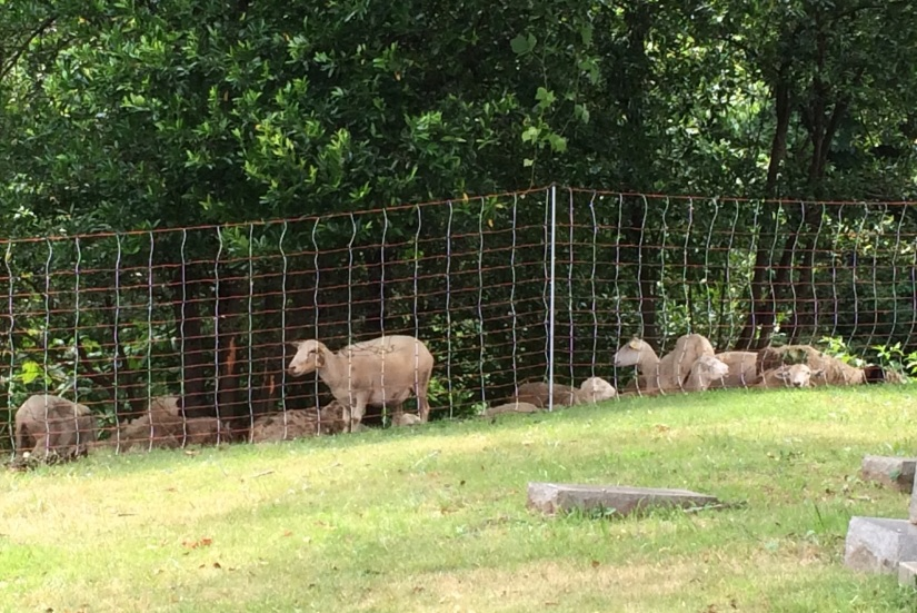 This is not the first time Decatur Cemetery hired sheep to take care of overgrown acreage. They did it in 2013 with successful results.