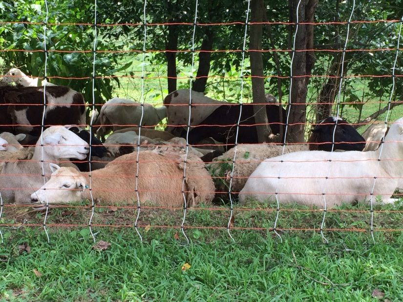 On the day I visited the sheep, it was a typically hot and humid one. They seemed uninclined to do much and I can't blame them for it.