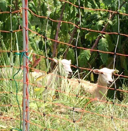 "A low current electric fence surrounds the sheep to protect them from predators. These two cracked me up. It looks like they're trying to day, ""Nothing to see here, folks. Move along!"""