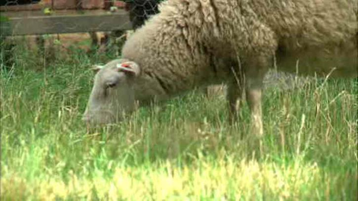 These sheep are taking care of the grass at St. Patrick's Old Cathedral in SoHo. They're brought in from a farm in upstate New York. Photo by WABC-TV.