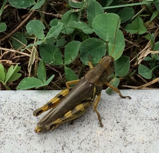 These large grasshoppers reminded me of the swarms of locusts mentioned in the Old Testament.